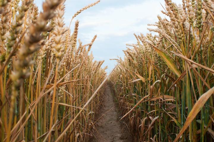 Se il chicco di grano, caduto in terra, muore, produce molto frutto